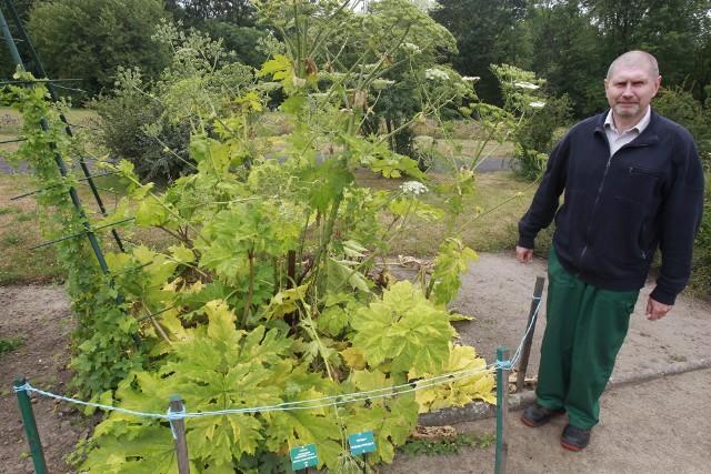 W ogrodzie botanicznym każdy może dotknąć groźnego barszczu Sosnowskiego