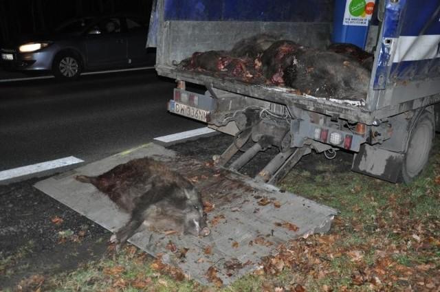 W listopadzie pod kołami tramwaju linii 20 na ul. Kosmonautów zginęło 5 dzików. Przez prawie 1,5 h nie jeździły tramwaje. Zobacz: Wataha dzików wpadła pod tramwaj [DRASTYCZNE ZDJĘCIA]