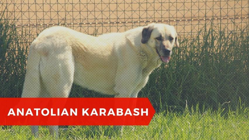 Akbash Dog jest z nim spokrewniony - niektórzy uważają go za...