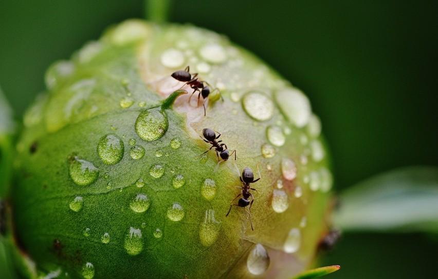 Oto sposoby na mrówki w ogrodzie. Odstraszają je te rośliny lub składniki z kuchni [lista metod ]