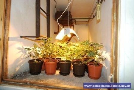 Dolny Śląsk: Zlikwidowano plantację marihuany. Policjanci znaleźli kilogram narkotyków (ZDJĘCIA)