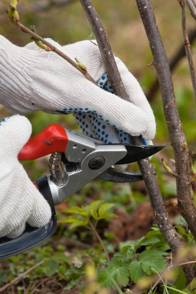Zabezpieczenie miejsc cięcia drzew i krzewów maścią ogrodniczą uchroni je przed rozwojem chorób i przyspieszy regenerację.