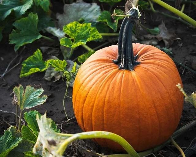 """Dynia z pewnością wielu z nas kojarzy się z Halloween. Choć """"święto"""" nadal kontrowersyjne w naszym kraju to z każdym rokiem zyskuje coraz więcej zwolenników. Dynia to także pyszne warzywo, które zyskuje na popularności. A zobaczcie, dlaczego warto ją jeść. Co dzieje się z naszym organizmem, kiedy jemy dynie? My już wiemy! Szczegóły na kolejnych zdjęciach >>>"""