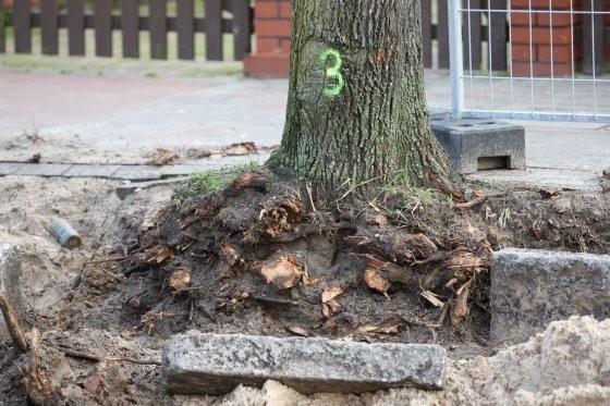 Nie trzeba być fachowcem, żeby stwierdzić, że drzewa są poważnie uszkodzone.