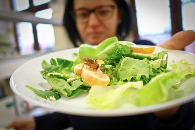 Na Uniwersytecie Przyrodniczym we Wrocławiu przyrządzają jadane owady