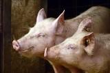 ASF - nadciąga nowa fala? Wirus znów uderza w chlewnie, tysiące wybitych świń