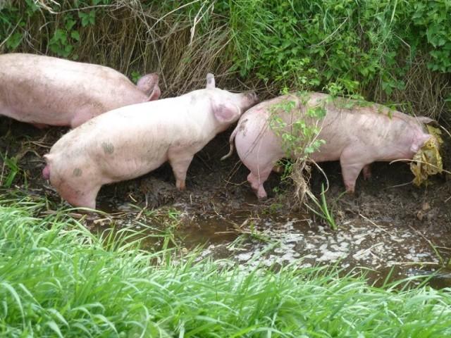 Wypadek w Połajewie: Świnie biegają po drodze wojewódzkiej!