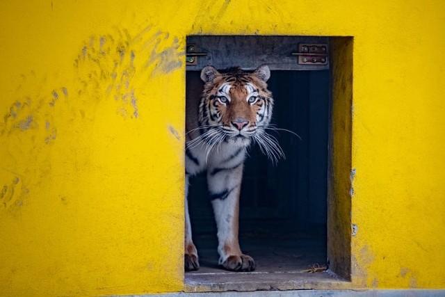 Dwa z dziewięciu uratowanych tygrysów pozostały w Poznaniu, kolejne dwa w Człuchowie