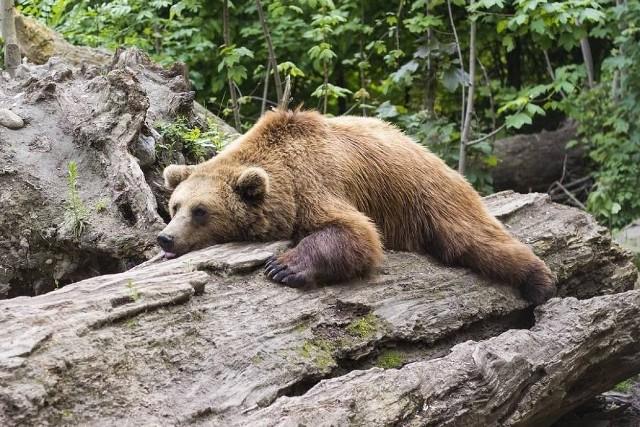 Ślady niedźwiedzi zauważyła Aleksandra Ragan schodząc z Radziejowej w Beskidzie Sądeckim