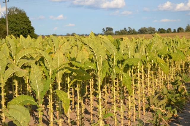 Uprawa tytoniu jest wciąż bardzo pracochłonna. To jeden z powodów rezygnacji z produkcji