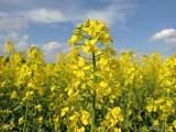 Rzepak nadrabia zaległości, Polska kwitnie na żółto. Zbliża się konferencja KPODR - Eurorzepak 2021 [zdjęcia]