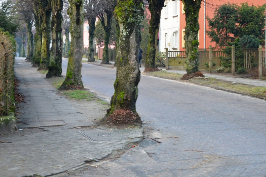 Mieszkańcom Bytowa udało się uratować większość starych lip! (ZDJĘCIA)