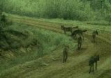 Nadleśnictwo Nurzec. Wataha wilków wędruje drogą żwirową. Kamera monitoringu nagrała świetne zdjęcia