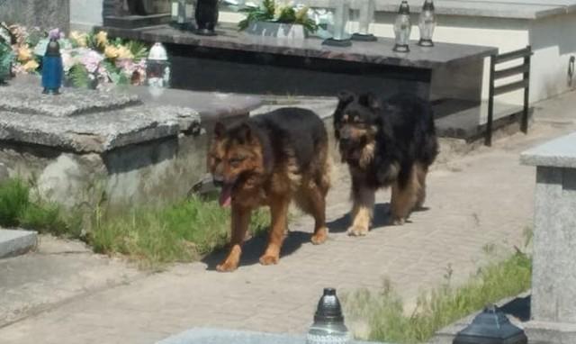 Dwa psy pogryzły w poniedziałek (8 czerwca) trzy przypadkowe osoby na cmentarzu w Żychlinie (powiat kutnowski). 83-letni mężczyzna trafił do szpitala. Policja znalazła właściciela zwierząt, który twierdzi, że psy uciekły w nocy z jego posesji. Czytaj więcej na następnej stronie