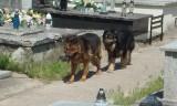 Dwa groźne psy pogryzły trzy osoby na cmentarzu w Żychlinie pod Kutnem