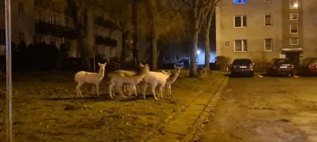 Nietypowi goście na osiedlu Kaszubskim w Wejherowie. Białe daniele i sarna!