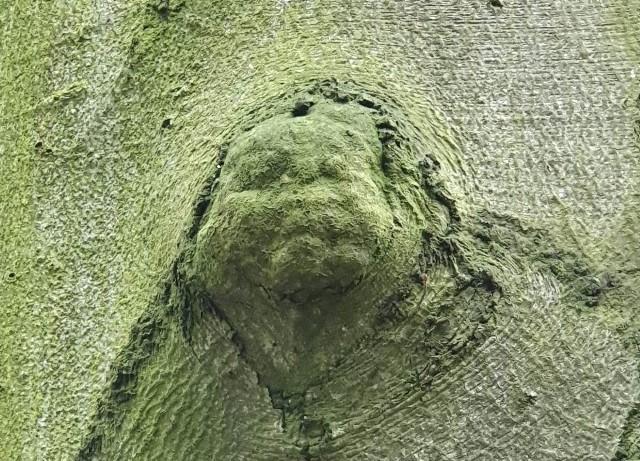 """- Gdy mijałam to drzewo, poczułam, że ono patrzy na mnie. Obejrzałam się za siebie i zobaczyłam """"twarz"""" – relacjonuje nam autorka zdjęć.  Drzewo z charakterystycznymi zgrubieniami na korze stoi w Parku Piastowskim, przy dość ruchliwej alejce. - Niestety uschło i jego los jest chyba przesądzony – informuje Czytelniczka. - Kolejną przyrodniczą ciekawostką są rosnące obok drzewa grzyby – dodaje.  Czytaj: Park Piastowski już bez pomnika przyrody. Drzewo się przewróciło. Na szczęście nikomu nic się nie stało [ZDJĘCIA]Poznaj piękne pomniki przyrody w centrum Zielonej Góry [PRZEWODNIK]Zobacz: Zielona Góra - wycinka drzew pod parking przy I Liceum OgólnokształcącymZobacz wideo: Amazonia w ogniu. Ogromny wzrost pożarów w dżungliwideo: Associated Press"""