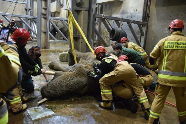 W próbach postawienia na nogi słonicy wzięło udział m.in. 22 strażaków. Niestety, Lindy nie udało się uratować.