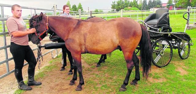 Wojciech Krzyżak: hucuły to małe konie o silnym charakterze i ogromnym sercufot. Anna Koział-Ogorzałek