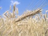 Jesienne nawożenie i ochrona przed chwastami zapewnia lepsze plony ozimin wiosną