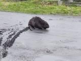 Po ulicach Gałkowa Małego spacerował... bóbr. Zwierzę trzeba było uśpić i przewieźć w bezpieczne miejsce