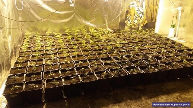 Plantacja marihuany pod Jelenią Górą