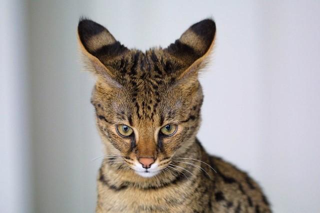 Ashera Egzotyczny i najdroższy kot na świecie. Powstał poprzez skrzyżowanie kota domowego z afrykańskim serwalem. Podobny do kota bengalskiego. Koty te są bardzo aktywne, wymagają dużo ruchu, uwagi, aktywności i zainteresowania ze strony człowieka. Są przy tym bardzo społeczne i mają pewne cechy uznawane powszechnie za psie, a nie kocie – łatwo uczą się chodzenia na smyczy, aportowania i innych sztuczek. Silnie przywiązują się do opiekuna i z utęsknieniem czekają na jego powrót do domu. Rasa ekstremalnie droga – obecnie już nie jest hodowana.  Jeśli chciałbyś spędzać wolny czas z pupilem, musiałbyś zapłacić za niego około 100 tysięcy dolarów.
