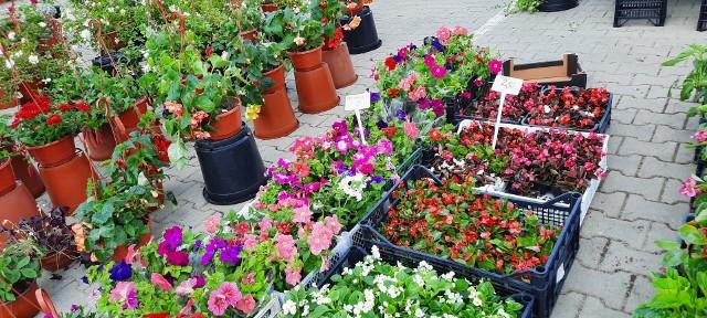 Wiele osób w niedzielę odwiedziło giełdę rolno-towarową przy ul. Andersa i kupiło sadzonki kwiatów i warzyw