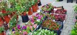 Mnóstwo sadzonek warzyw i kwiatów w atrakcyjnych cenach było na giełdzie przy Andersa. Sprawdź co oferowano (zdjęcia)