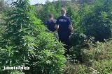 """To nie plantacja, a """"las konopny"""". Dzielnicowi odkryli nielegalną uprawę. Zatrzymano młodych mężczyzn"""