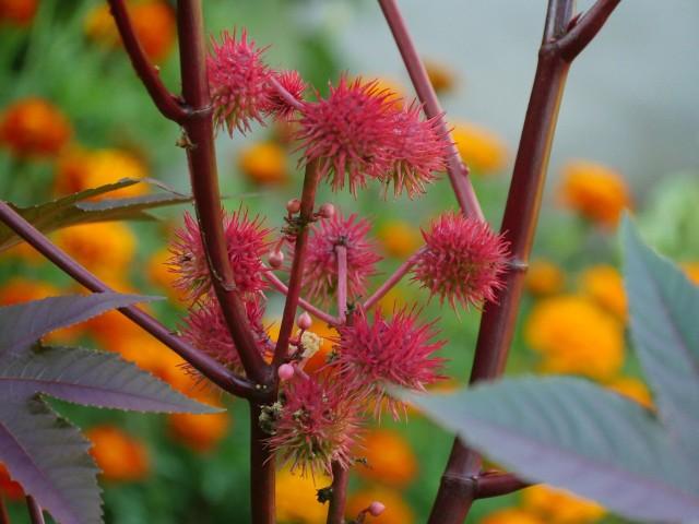 Rącznik zwany rycynusem jest ciekawą i pożyteczną rośliną. Ale jest też niebezpieczny, więc trzeba się zastanowić, zanim go posadzimy.