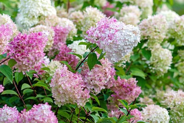 Hortensje mogą kwitnąć przez całe lato. Jednak do tego potrzebują żyznej ziemi. Odpowiednie warunki zapewni prawidłowe nawożenie.