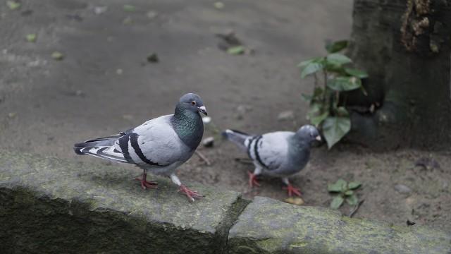 Mieszkańcy łódzkich osiedli skarżą się na uciążliwe gołębie. W tym roku zaczęły zakładać gniazda wcześniej niż zwykle. Ale prawo dopuszcza tylko niektóre sposoby walki z tymi ptakami.