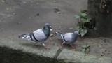 Gołębie zaatakowały łódzkie balkony wcześniej niż zwykle. Sprzyjało im ciepłe przedwiośnie