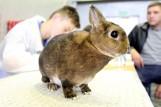 Zobacz wystawę rasowych królików [ZDJĘCIA]