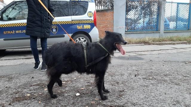 Dzięki popularnej w mediach społecznościowych grupie poznańscy strażnicy miejscy szybko odnaleźli właścicielkę psa, który postanowił uciec.