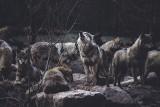 Wilków jest coraz więcej. Podczas spaceru w lesie możemy stanąć z nimi oko w oko. Jak się wówczas zachować? [ROZMOWA]