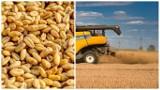 Ceny pszenicy w Kujawsko-Pomorskiem. Tyle oferują punkty skupu [koniec września 2021]