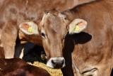 Ceny skupu żywca wołowego. Podajemy stawki w Kujawsko-Pomorskiem [maj 2021]