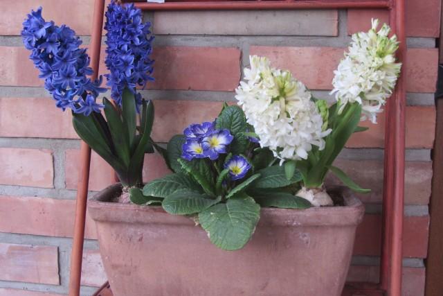 Hiacynt - O tej porze roku kupujemy ukorzenioną, przygotowaną przez producentów cebulkę, którą należy przesadzić do donicy. Jeśli donice z kwiatami ustawimy na zewnątrz, kwiaty powinny rozkwitnąć na Wielkanoc czyli za około (6 tygodni). Można, nabyć też już kwitnącą roślinę.Donicę z kwiatami ustawiamy w półcieniu. Podlewamy w chwili, kiedy ziemia z wierzchu jest już sucha.