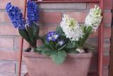 Jakie kwiaty sadzimy w marcu na balkonie i na działce? Kwiaty na balkon i do ogrodu: narcyzy, tulipany, hiacynty. Kiedy sadzić kwiaty