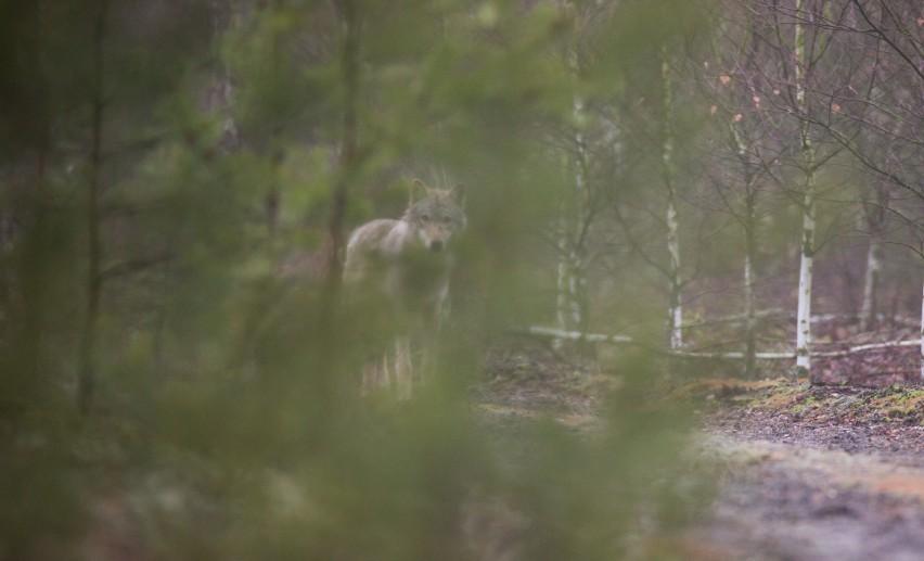 Bardzo trudno jest spotkać w lesie wilka, bo są to z natury...