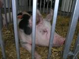 Świnie przejadły zaliczki dopłat! - skarży się rolnik. Ceny w skupie tuczników drgnęły, ale wciąż nie pokrywają kosztów produkcji