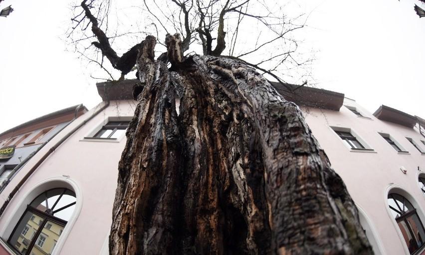 Kratki zbyt mocno wrzynają się w drzewa na deptaku?