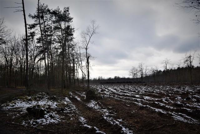Lasy wokół Kędzierzyna-Koźla czeka wycinka. Mieszkańcom się to nie podoba, nadleśnictwo mówi, że nie ma innego wyjścia. Skala ma być jednak ograniczona.