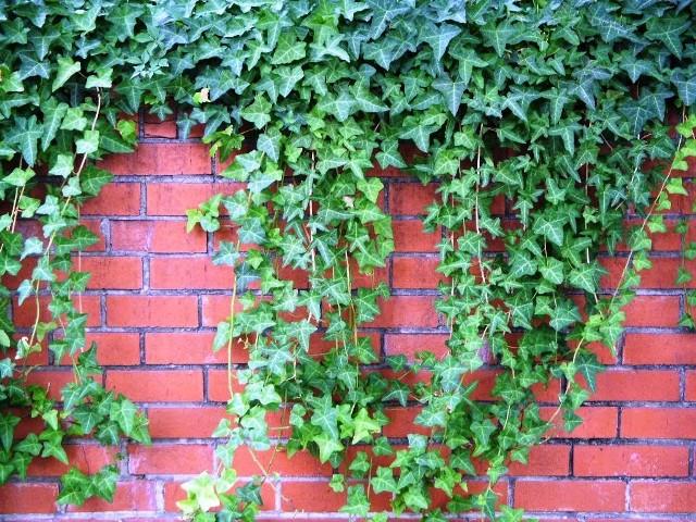 Pnącze na ścianie domuRzadko decydujemy się na posadzenie pnącza przy ścianie domu, obawiając się wilgoci.