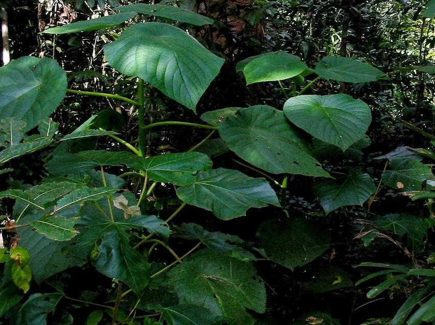 Poparzenie rośliną nazywaną gympie-gympie powoduje prawdziwe katusze, które mogą trwać przez bardzo długi czas.