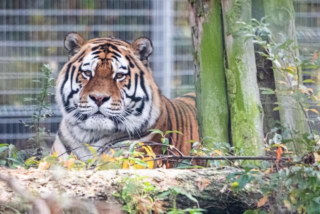 Tygrysy trafiły do zoo w Poznaniu, a ich opiekun - w ręce policji. Mężczyzna usłyszy zarzut znęcania się nad zwierzętami.