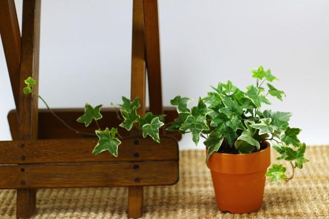 BluszczDo wyjątkowo łatwych w uprawie pnączy należy bluszcz pospolity. Ma on sporo odmian, różniących się wielkością i ubarwieniem liści.