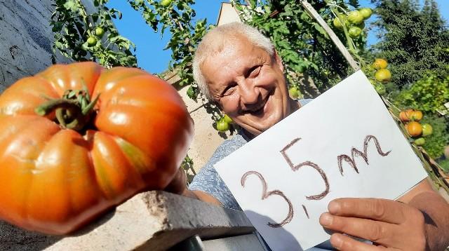Pan Zbigniew z Zielonej Góry Raculi wyhodował pomidory, które ważą blisko 1,5 kg jeden i osiągają wysokość 3,5 metra.